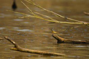 Bergeronnette des ruisseaux (Motacilla cinerea)<br> Etang de La Loy<br> Réserve de Marne &amp; Gondoire