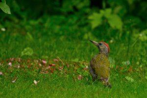 Jeune Pic vert (Picus viridis)<br> Site classé de la vallée de La Brosse et de La Gondoire