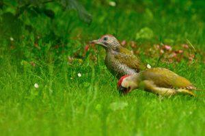 Pic vert mâle et son jeune (Picus viridis)<br> Réserve de Marne &amp; Gondoire