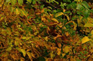 L'écureuil d'Eurasie ou écureuil roux (Sciurus vulgaris)<br> Réserve de Marne &amp; Gondoire