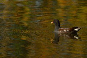 La Gallinule poule d'eau (Gallinula chloropus)<br> Etang de La Loy<br> Réserve de Marne &amp; Gondoire