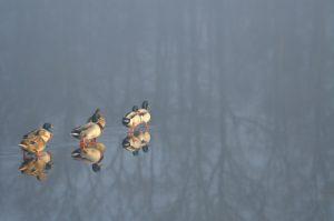 Le Canard colvert (Anas platyrhynchos)<br> Etang de La Loy<br> Réserve de Marne &amp; Gondoire
