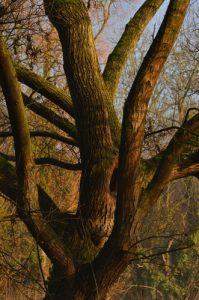 Le Saule pleureur (Salix babylonica)<br> Etang de La Loy<br> Site classé de la vallée de La Brosse et de La Gondoire