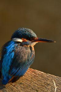 Le Martin-pêcheur d'Europe (Alcedo atthis)<br> Etang de La Loy<br> Site classé des vallées de la Brosse & de la Gondoire