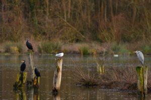 Le Grand Cormoran, ou Cormoran commun (Phalacrocorax carbo) et le Héron cendré (Ardea cinerea)<br> L'étang de La Loy<br> Site classé des vallées de la Brosse & de la Gondoire