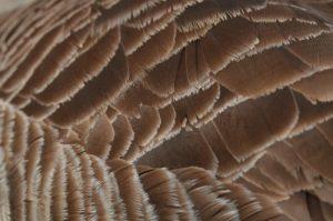 La Bernache du Canada (Branta canadensis)<br> Etang de La Loy<br> Site classé des vallées de la Brosse & de la Gondoire