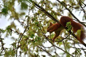 L'écureuil d'Eurasie ou écureuil roux (Sciurus vulgaris)<br> Site classé des vallées de la Brosse & de la Gondoire
