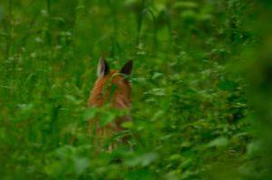 Le Renard roux (Vulpes vulpes)<br> Site classé de la vallée de La Brosse et de La Gondoire