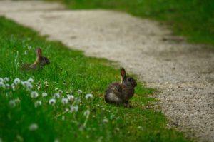 Le Lapin de garenne ou lapin commun (Oryctolagus cuniculus)<br> Site classé de la vallée de La Brosse et de La Gondoire