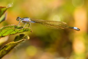 Ischnure élégante femelle immature de type A (Ischnura elegans)<br> [Caratéristiques : couleur violette]<br> Étang de La Loy<br> Site classé des vallées de la Brosse &amp; de la Gondoire