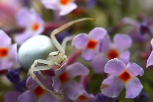 Araignée-crabe Thomise (Misumena vatia)<br> Site classé de la vallée de La Brosse et de La Gondoire