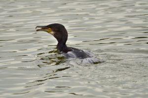Le Grand Cormoran, ou Cormoran commun (Phalacrocorax carbo)<br> L'étang de La Loy<br> Site classé des vallées de la Brosse & de la Gondoire