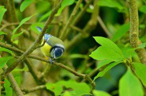 La Mésange bleue (Cyanistes caeruleus)<br> Site classé de la vallée de La Brosse &amp; La Gondoire
