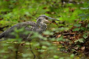 Le Héron cendré (Ardea cinerea) pêchant un poisson<br> Bras de l'étang de La Loy<br> Site classé de la vallée de La Brosse