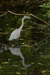 Le Héron cendré (Ardea cinerea)<br> Bras de l'étang de La Loy<br> Site classé de la vallée de La Brosse
