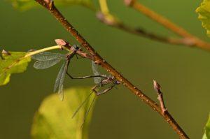 Tandem de Lestes verts (Lestes viridis)<br> Etang de La Loy<br> Site classé de la vallée de La Brosse et de La Gondoire
