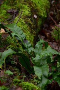 La fougère Langue-de-cerf (Asplenium scolopendrium)<br> Site classé de la vallée de La Brosse et de La Gondoire