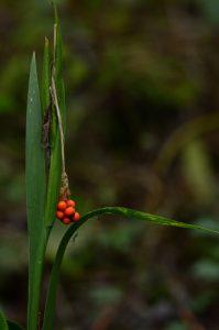 Baies de l'Iris fétide (Iris foetidissima)<br> Site classé de la vallée de La Brosse et de La Gondoire