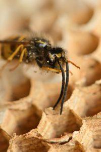 Nid en fibre de bois mâché de Guêpe commune (Vespula vulgaris)<br> Site classé de la vallée de La Brosse et de La Gondoire