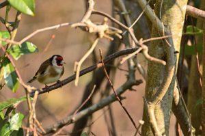 Le Chardonneret élégant (Carduelis carduelis)<br> Site classé de la vallée de La Brosse et de La Gondoire