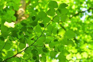 Feuilles de Tilleul à larges feuilles (Tilia platyphyllos)<br> Site classé de la vallée de La Brosse et de La Gondoire