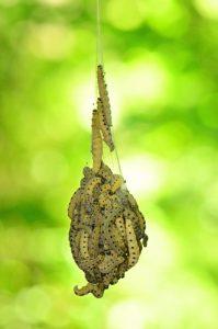 L'Hyponomeute du Saule (Yponomeuta rorrella)<br> Site classé de la vallée de La Brosse et de La Gondoire
