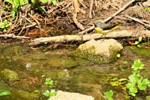 La Bergeronnette des ruisseaux (Motacilla cinerea)<br> Site classé de la vallée de La Brosse et de La Gondoire