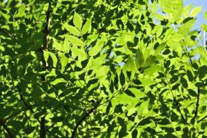 Feuilles de Frêne commun ou Frêne élevé (Fraxinus excelsior)<br> Site classé de la vallée de La Brosse et de La Gondoire