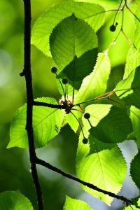 Feuilles de Cerisier-Merisier (Prunus avium)<br> Site classé de la vallée de La Brosse et de La Gondoire