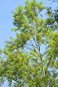 Le Saule blanc ou Saule commun ou Saule argenté (Salix alba)<br> Site classé de la vallée de La Brosse et de La Gondoire