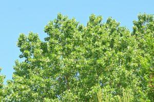 Le Peuplier noir (Populus nigra)<br> Site classé de la vallée de La Brosse et de La Gondoire
