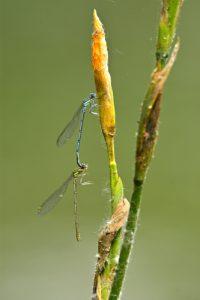 Tandem de Pennipattes bleuâtres (Platycnemis pennipes)<br> Étang de la Petite Jonchère<br> Site classé de la vallée de La Brosse et de La Gondoire
