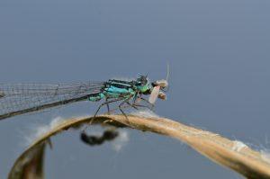 Ischnure élégante (Ischnura elegans) dévorant une proie<br> Site classé de la vallée de La Brosse et de La Gondoire