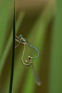 Accouplement de Pennipattes bleuâtres (Platycnemis pennipes)<br> Étang de la Petite Jonchère<br> Site classé de la vallée de La Brosse et de La Gondoire