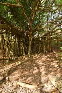 Le Figuier maudit (Ficus citrifolia)<br> La Trace des Caps à Cap Chevalier<br> Parc Naturel Régional de La Martinique