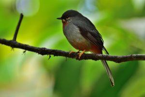 Solitaire siffleur (Myadestes genibarbis)<br> Sentier de l'Estripaut<br> Parc Naturel Régional de La Martinique