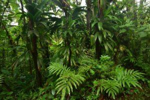 Forêt hygrophile de l'Estripaut<br> Parc Naturel Régional de La Martinique