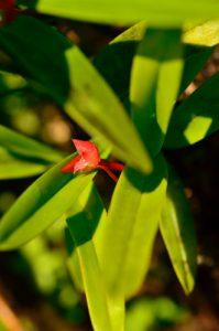 Orchidée (Ornithidium coccineum)<br> Forêt hygrophile de l'Estripaut<br> Parc Naturel Régional de La Martinique