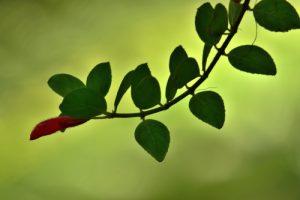 La liane Fuchsia-bois (Columnea scandens)<br> Forêt hygrophile de l'Estripaut<br> Parc Naturel Régional de La Martinique