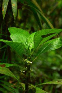 L'arbuste Branda grand bois (Psychotria discolor)<br> Forêt hygrophile de l'Estripaut<br> Parc Naturel Régional de La Martinique