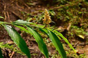 La Gigembre grand-bois (Renealmia pyramidalis)<br> Forêt hygrophile de Sainte-Cécile<br> Parc Naturel Régional de La Martinique