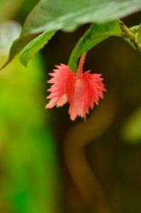 La liane Crête à coq (Alloplectus cristatus)<br> Forêt hygrophile de Sainte-Cécile<br> Parc Naturel Régional de La Martinique