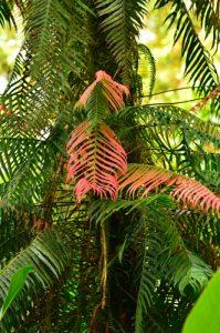 Fougère en épiphyte (blechnum binervatum)<br> Forêt hygrophile de Sainte-Cécile<br> Parc Naturel Régional de La Martinique
