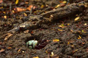 Le crabe de mangrove Mantou (Urcides cordatus)<br> Mangrove de la Baie de Génipa depuis la Forêt de Vatable<br> Parc Naturel Régional de La Martinique