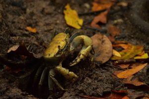 Le Crabe de terre commun (Cardisoma guanhumi)<br> Mangrove de la Baie de Génipa depuis la Forêt de Vatable<br> Parc Naturel Régional de La Martinique