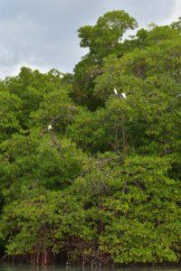 Une Aigrette neigeuse (Egretta thula) et deux Hérons Garde-Boeufs (Bubulcus ibis)<br> Mangrove de la Baie de Génipa depuis la forêt de Vatable<br> Parc Naturel Régional de La Martinique
