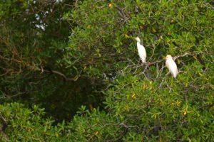 Deux Hérons Garde-Boeufs (Bubulcus ibis)<br> Mangrove de la Baie de Génipa depuis la forêt de Vatable<br> Parc Naturel Régional de La Martinique