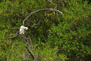 L'Aigrette neigeuse (Egretta thula)<br> Mangrove de la Baie de Génipa depuis la forêt de Vatable<br> Parc Naturel Régional de La Martinique