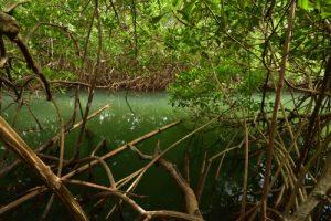 Canal dans la Mangrove de la Baie de Génipa<br> Forêt de Vatable<br> Parc Naturel Régional de La Martinique