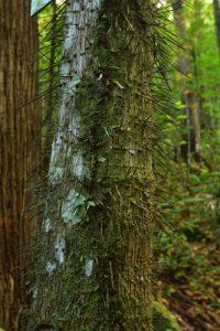 Le palmier Chou-piquant (Aiphanes sp.)<br> Chemin de la Cascade Anba So<br> Parc Naturel Régional de La Martinique
